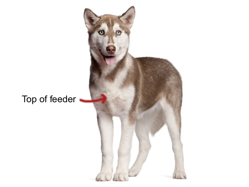 How to choose an elevated dog feeder height
